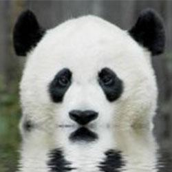 Trunks le Panda